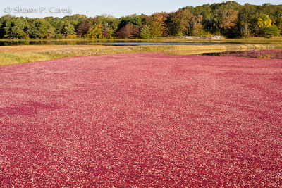 Cranberry bog before harvest.