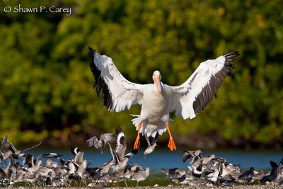 White Pelican and Willets