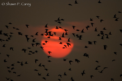 Common Terns at Sunset.