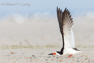 Black Skimmer (adult)