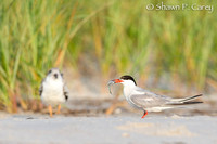 Common Tern & Black Skimmer