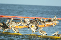 Brown Pelican, Barataria Bay