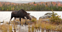 Moose at Sandy Stream Pond