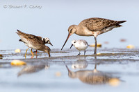 Short-billed Dowitcher, Ruddy Turnstone, Hudsonian Godwit, & Sanderling